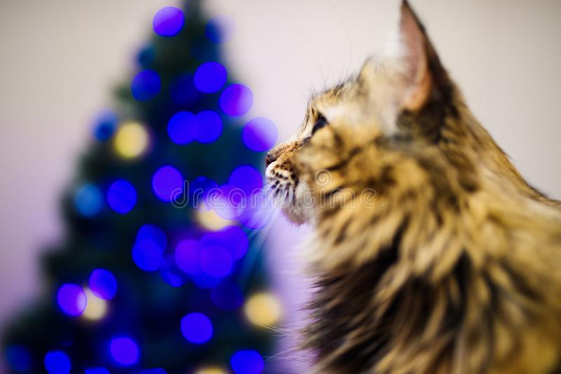 Cat at home in Christmas time. Adorable, animal, animals, background, beautiful, black, blanket, blur, card, cats, celebration, cheerful, comfort, cute royalty free stock image