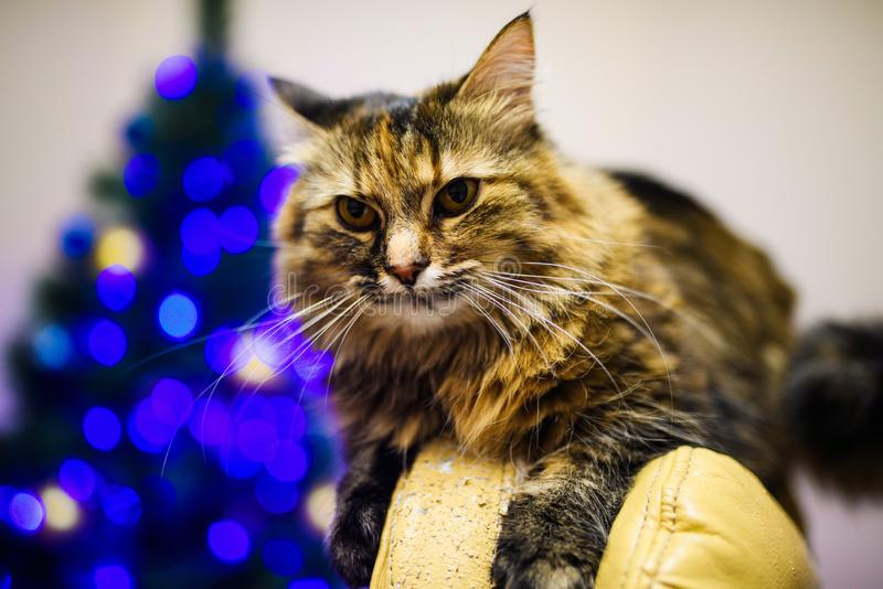 Cat at home in Christmas time. Adorable, animal, animals, background, beautiful, black, blanket, blur, card, cats, celebration, cheerful, comfort, cute stock images