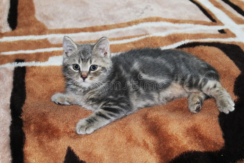 Cat. Home cat little baby grey colour love angel eyes royalty free stock photography
