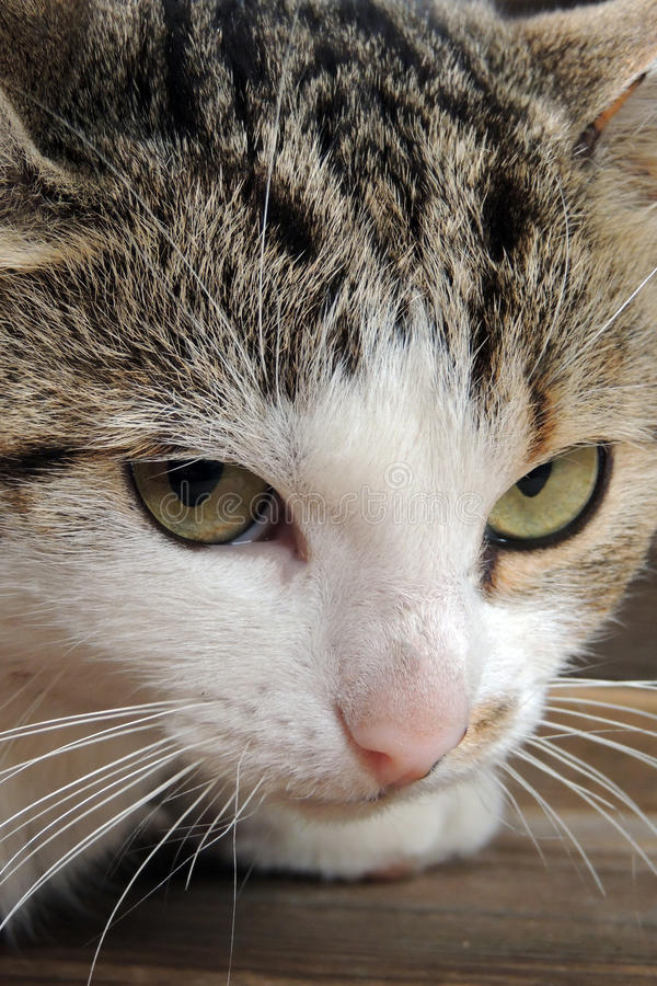 Cat. Household pet, close up . Background royalty free stock images