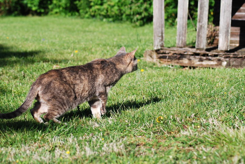 Cat on the Hunt stock image