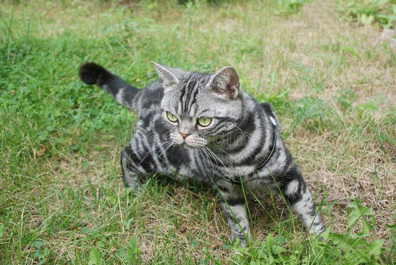 Download Cat hunting stock image. Image of summer, prowl, purebred - 10704857