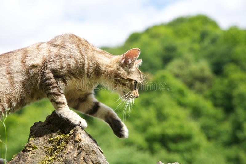 Cat hunting. Tabby cat on stones fence at Asturias countryside in Spain stock images