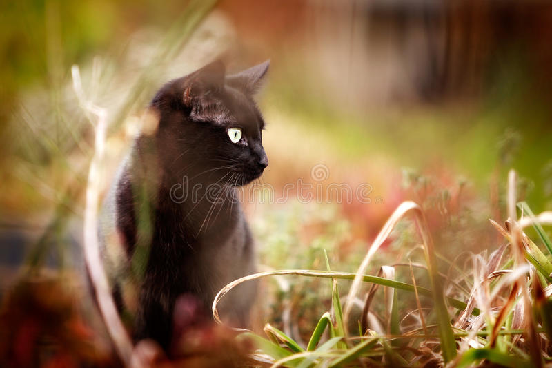Cat Hunting. Black cat hunting in the undergrowth in the garden stock images