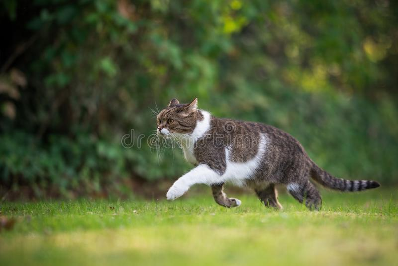 Cat hunting in garden, on the prowl royalty free stock image