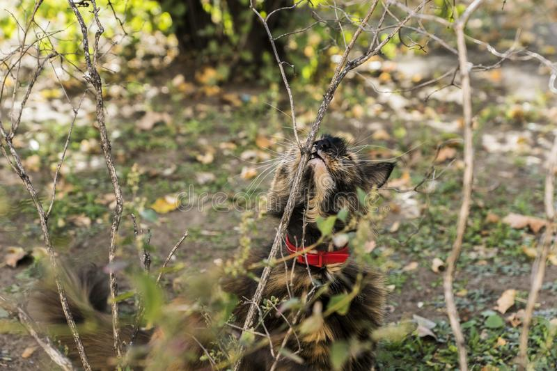 Cat hunts in the bushes. On a sunny day royalty free stock photography