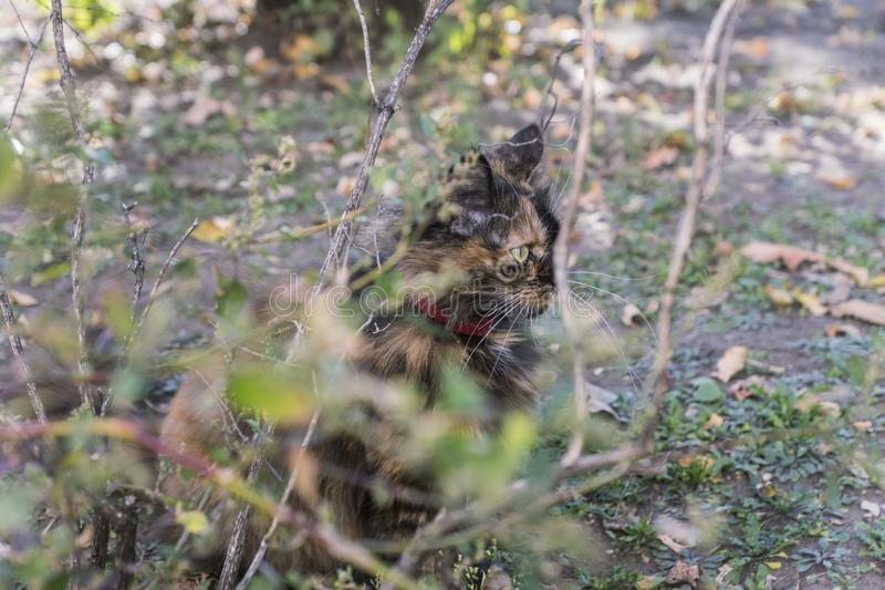 Cat hunts in the bushes. On a sunny day stock photography