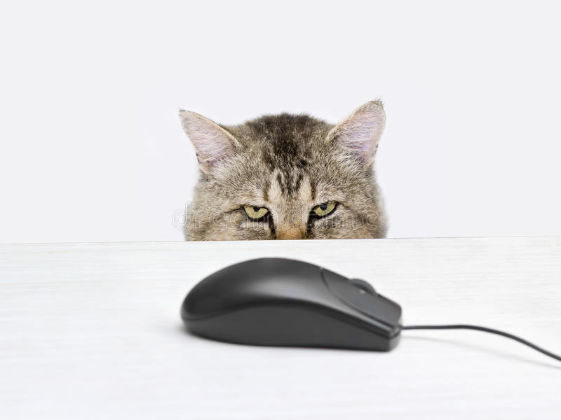 Cat hunts a computer mouse. Lying on the table stock images