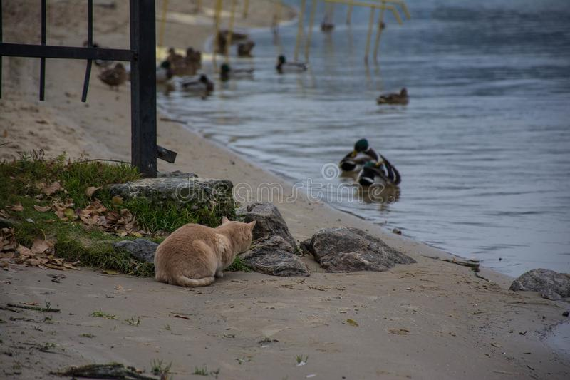 The cat hunts the duck. The orange cat hunts the duck royalty free stock image