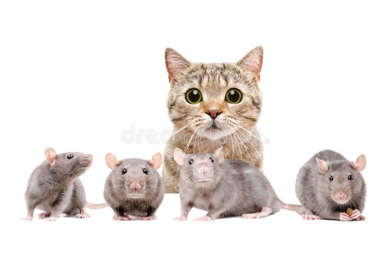 Cat hunts on rats. Cat Scottish Straight hunts on rats, isolated on white background stock photo
