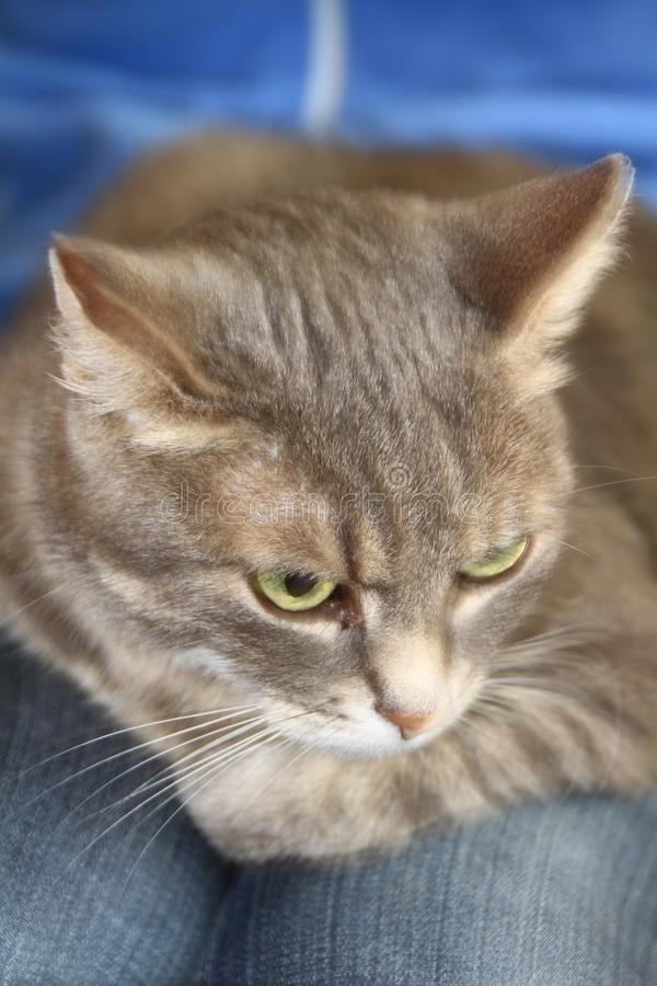 Cat. Image of a cat sitting on a lap looking stock photos