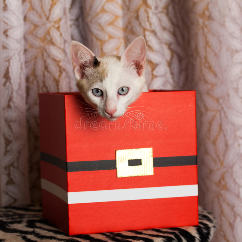 Cat inside a box - schrodinger cat. Small cat inside red box royalty free stock image