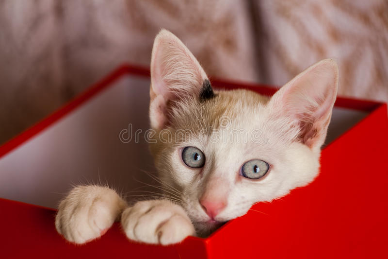 Cat inside a box - schrodinger cat. Small cat inside red box stock photography
