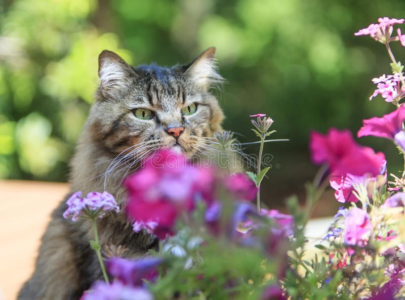 Cat Intently Focused on Small Flower. A green eyed mixed breed cat intently focused on small pink flower amongst group of flowers, green bokeh in background royalty free stock photography