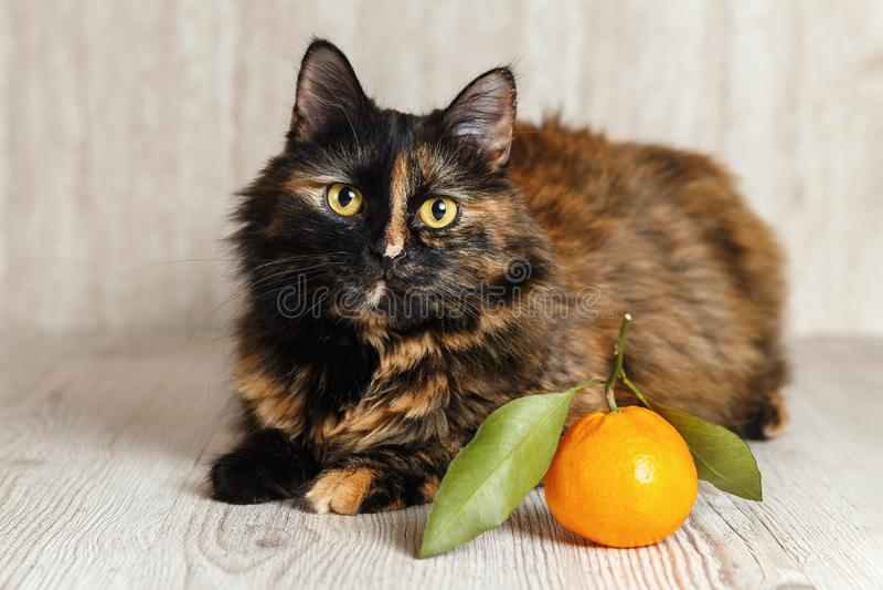 Cat with an interested look lies near the Mandarin stock photos