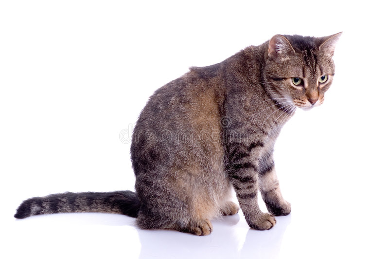 Cat Isolated. On white background royalty free stock images