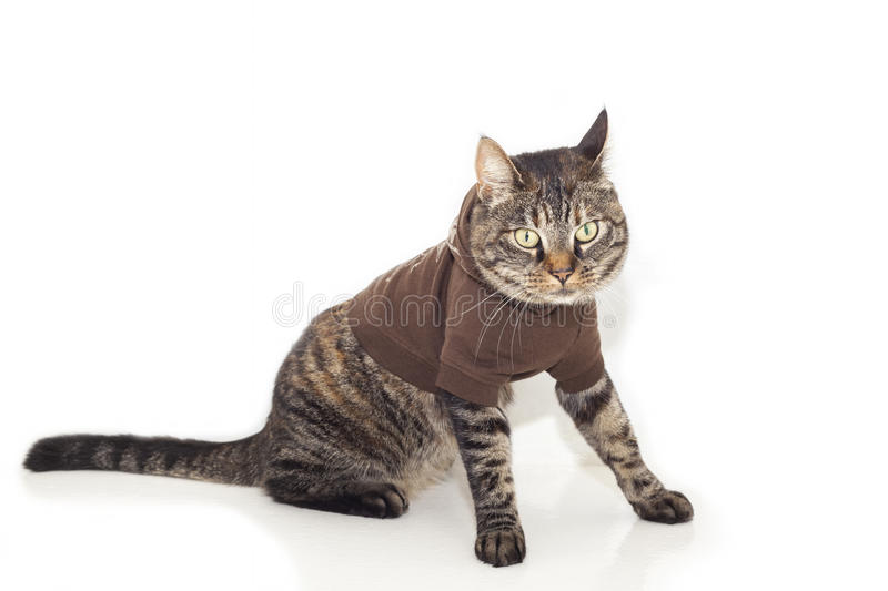 Cat in jumper. Image of tabby cat dressed up in a brown jumper stock photography