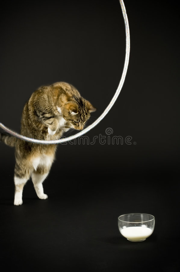 Cat jumping for milk. Cat jumping through a hula hoop for milk stock images