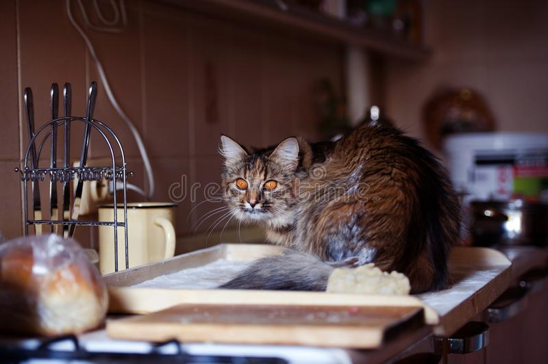 Cat in the kitchen has done damage. Home cat. Adorable, animal, beautiful, breed, cute, domestic, eyes, feline, fluffy, funny, fur, hair, happy, kitty, mammal stock photos