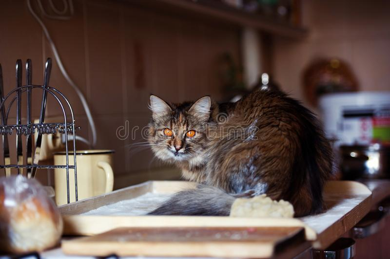 Cat in the kitchen has done damage. Home cat. Adorable, animal, beautiful, breed, cute, domestic, eyes, feline, fluffy, funny, fur, hair, happy, kitty, mammal royalty free stock photo