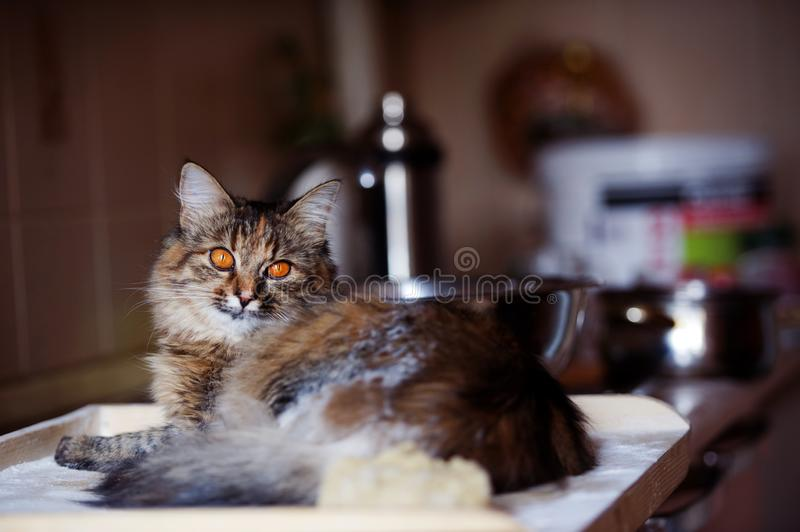 Cat in the kitchen has done damage. Home cat. Adorable, animal, beautiful, breed, cute, domestic, eyes, feline, fluffy, funny, fur, hair, happy, kitty, mammal royalty free stock photography