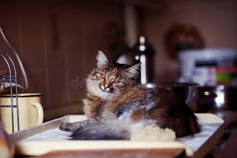 Cat in the kitchen has done damage. Home cat. Adorable, animal, beautiful, breed, cute, domestic, eyes, feline, fluffy, funny, fur, hair, happy, kitty, mammal stock photo