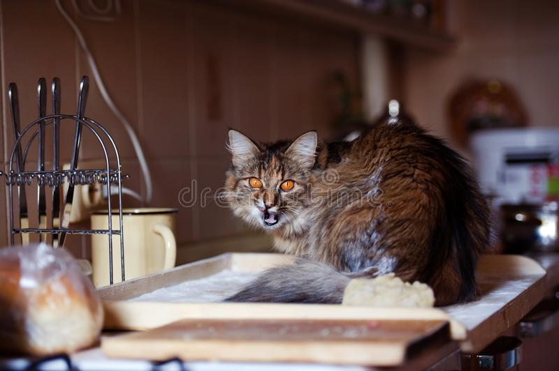 Cat in the kitchen has done damage. Home cat. Adorable, animal, beautiful, breed, cute, domestic, eyes, feline, fluffy, funny, fur, hair, happy, kitty, mammal royalty free stock image