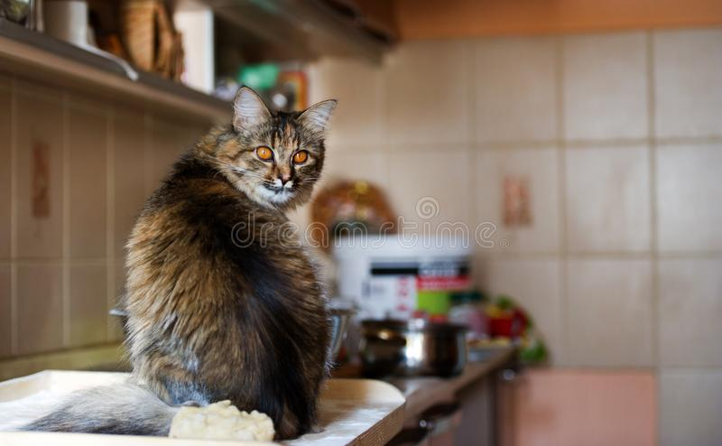 Cat in the kitchen has done damage. Home cat. Adorable, animal, beautiful, breed, cute, domestic, eyes, feline, fluffy, funny, fur, hair, happy, kitty, mammal royalty free stock photos