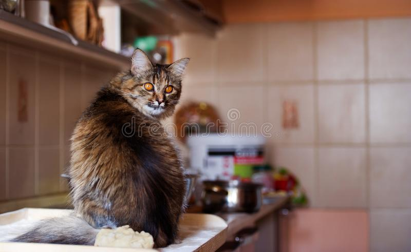 Cat in the kitchen has done damage. Home cat. Adorable, animal, beautiful, breed, cute, domestic, eyes, feline, fluffy, funny, fur, hair, happy, kitty, mammal stock photography