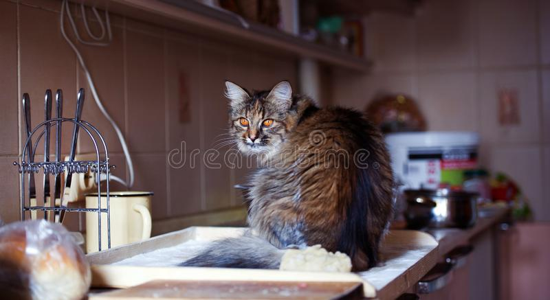 Cat in the kitchen has done damage. Home cat. Adorable, animal, beautiful, breed, cute, domestic, eyes, feline, fluffy, funny, fur, hair, happy, kitty, mammal stock image