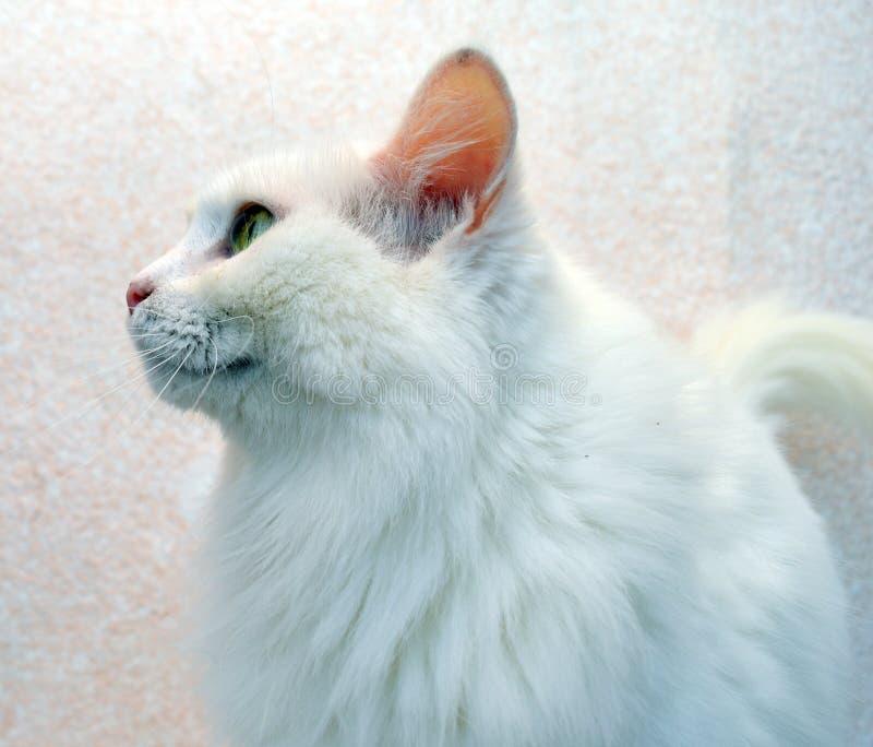 Cat, kitten, animal, white, pet, cute, feline, kitten, domestic, fur, down, adorable, Portrait, young,mammal, beautiful, fluffy, A stock photography