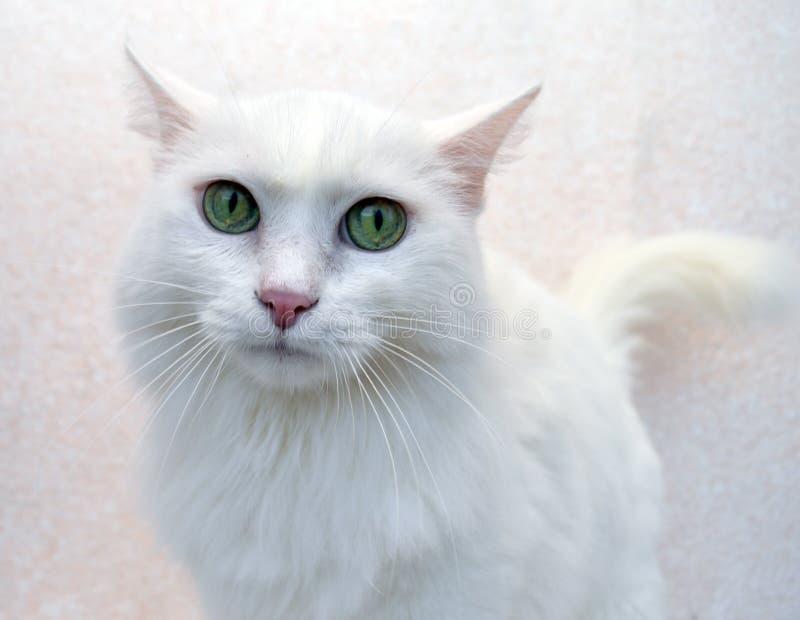 Cat, kitten, animal, white, pet, cute, feline, kitten, domestic, fur, down, adorable, Portrait, young,mammal, beautiful, fluffy, A stock images