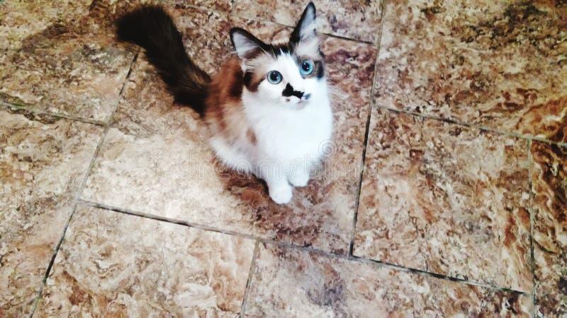Blue eyed baby. Cat kitten blue eyes high angle stock image