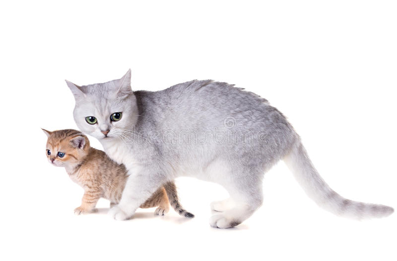 Cat with a kitten. British Shorthair. Isolated on white backgro royalty free stock photography