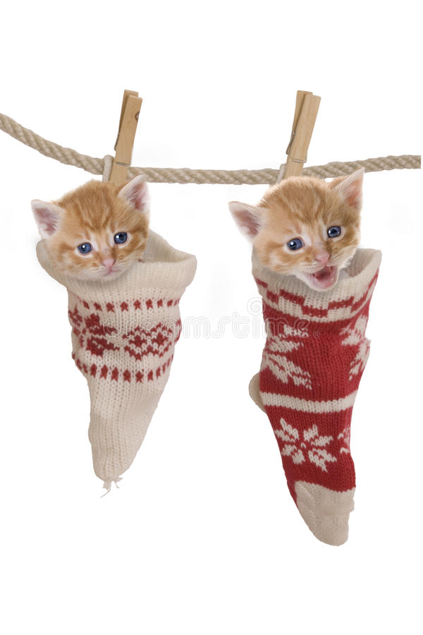 Cat, kitten hanging in socks on clothesline. With white background stock photography