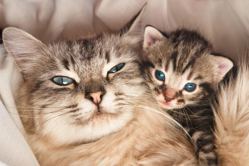 Cat and kitten hug. Cat and her kitten poses royalty free stock photos