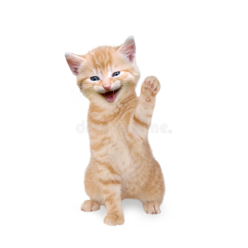 Cat / kitten laughing and waving. On white background stock photo