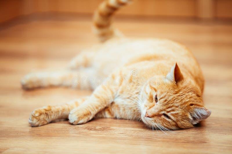 Cat Kitten Lying On Laminate Floor vermelha imagens de stock royalty free