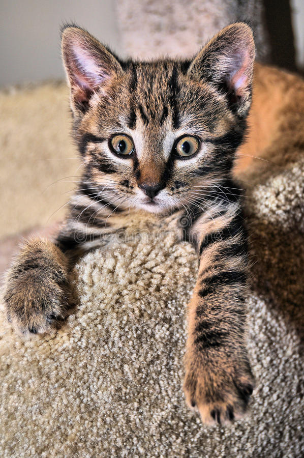 Cat Kitten Manx imagem de stock royalty free