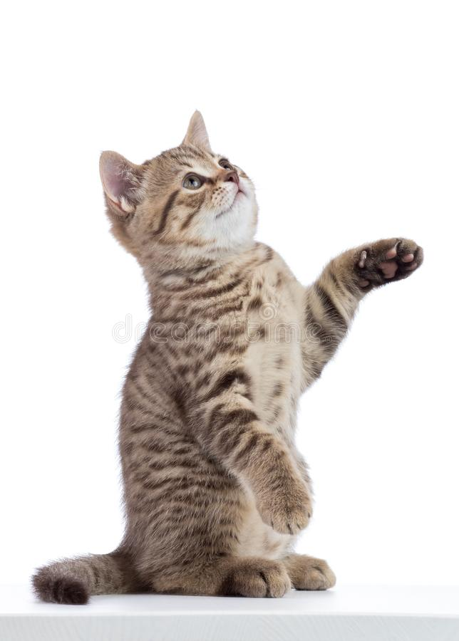 Cat kitten sitting and lifted a paw. Isolated on white royalty free stock photo