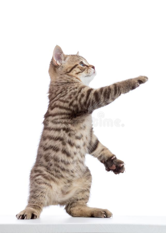 Cat kitten standing and lifted a paw. Isolated on white stock photos
