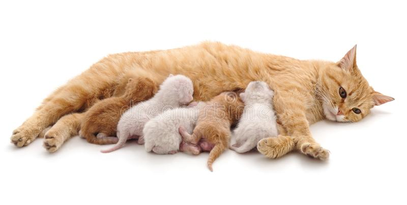 Cat with kittens. Cat with kittens on a white background stock images