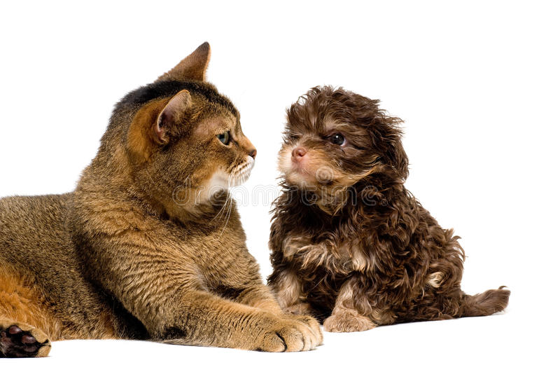 Cat and lapdog in studio royalty free stock photos