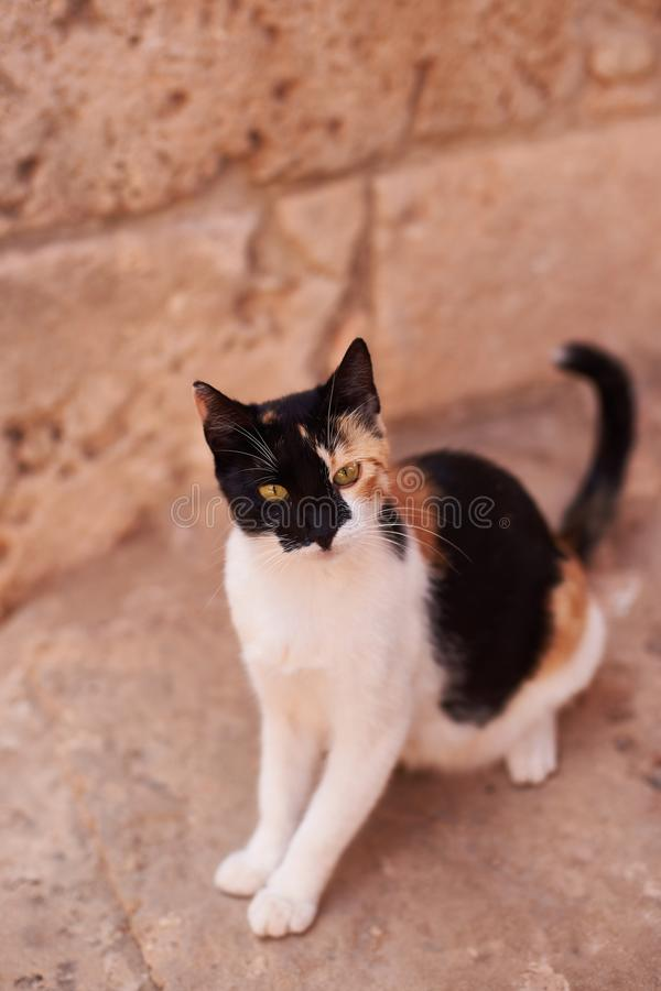 Cat on Largo di Torre Argentina, a square in Rome, Italy. There are many cats living in ancient Roman ruins. stock images