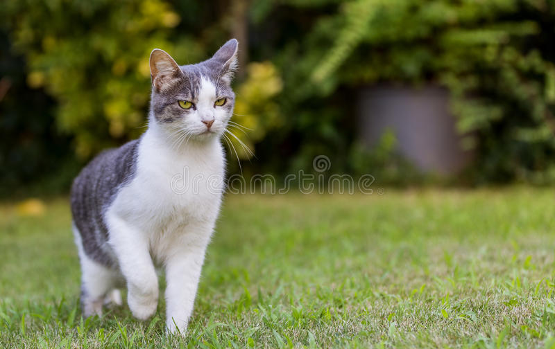 Cat on Lawn. Grey and white cat is walking on lawn stock photography