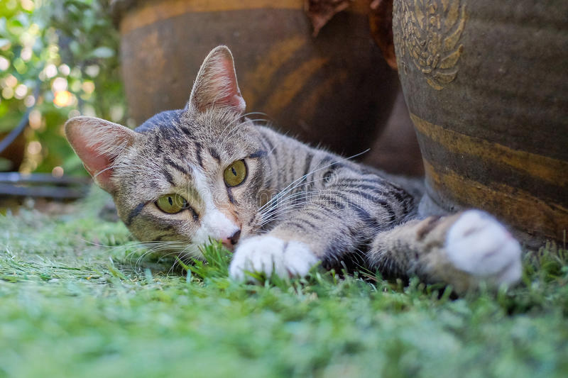 Cat lay on the grasses.  royalty free stock images