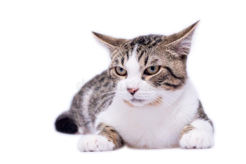 Cat Laying de vista mal-humorada em um fundo branco foto de stock royalty free