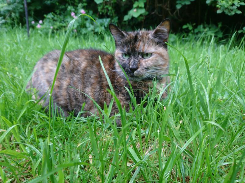 Cat laying in the grass royalty free stock images