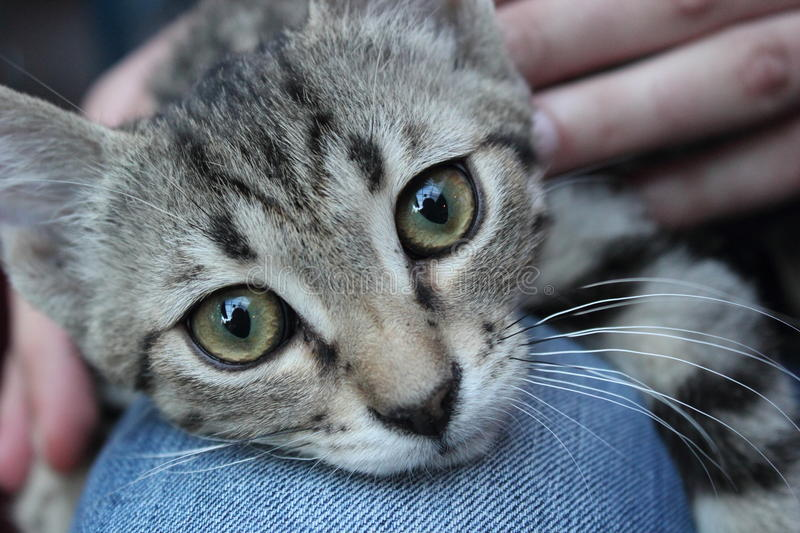 Download Cat laying on my knees stock image. Image of breed, eyes - 25602121