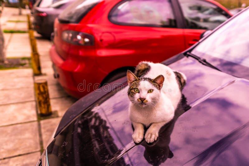 Cat Laying op een Auto 01 stock afbeelding